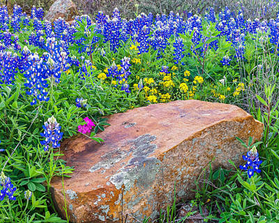 Boulder And Bluebonnets Print by Thomas Pettengill