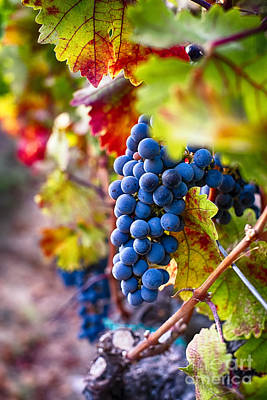 Bunch Of Grapes Photograph - Bounty Of Napa Valley I by George Oze
