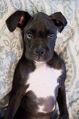 Boxer Puppy Laying In Bed Print by Stephanie McDowell