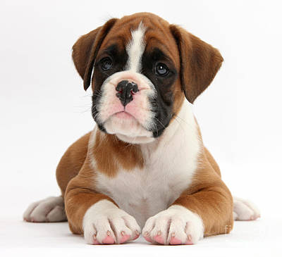 Boxer Puppy Print by Mark Taylor