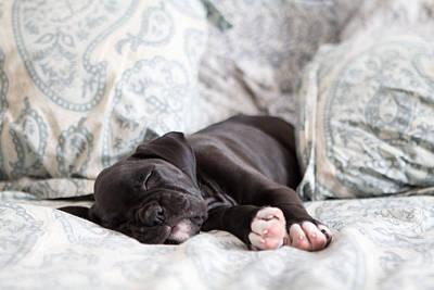 Boxer Puppy Sleeping Print by Stephanie McDowell