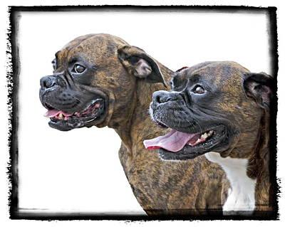 Boxer Digital Art - Boxers by Harold Bonacquist