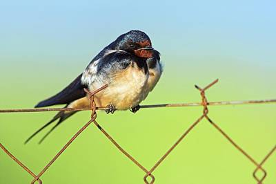 Bran Swallow On A Fence Print by Bildagentur-online/mcphoto-schaef