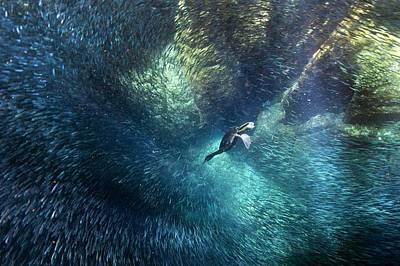 Cormorant Photograph - Brandt's Cormorant Fishing by Christopher Swann