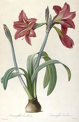 Spring Bulbs Painting - Brazilian Amaryllis by Pierre Joseph Redoute