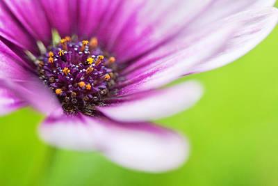 Osteospermum Photograph - Bright Floral Display by Natalie Kinnear
