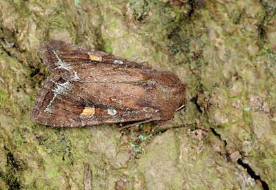 Bright-line Brown-eye Moth Print by Nigel Downer
