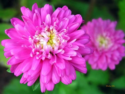 Rollo Painting - Bright Pink Zinnia Flowers by Christina Rollo