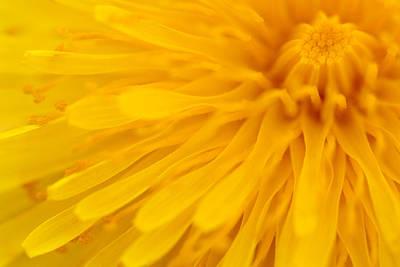 Dandelion Digital Art - Bright Yellow Dandelion Flower by Natalie Kinnear