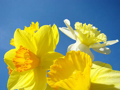 Bright Yellow Spring Daffodil Flowers Print by Baslee Troutman