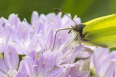 Brimstone Butterfly Print by Chris Smith