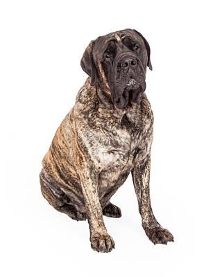 Brindle English Mastiff Dog Sitting Print by Susan  Schmitz