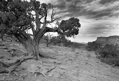Cslanec Photograph - Bristlecone Pine Canyonlands Utah by Christian Slanec
