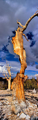 Bare Trees Photograph - Bristlecone Pine Trees Pinus Longaeva by Panoramic Images