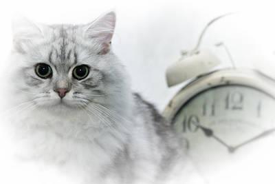 Snout Digital Art - British Longhair Cat Time Goes By by Melanie Viola