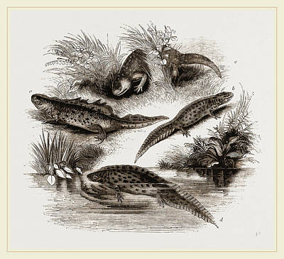 Newts Drawing - British Water Newts by Litz Collection