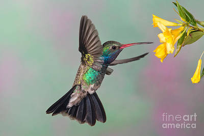Nectaring Bird Photograph - Broad-billed Hummingbird by Jim Zipp