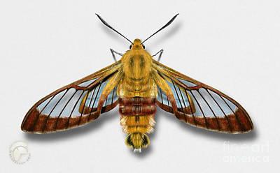 Antennae Drawing - Broad-bordered Bee Hawk Moth Butterfly - Hemaris Fuciformis Naturalistic Painting -nettersheim Eifel by Urft Valley Art