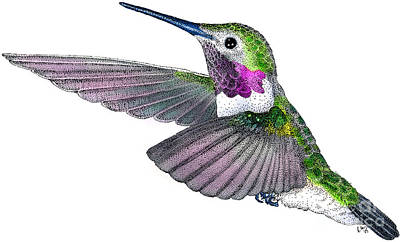 Broad-tailed Hummingbird Print by Roger Hall