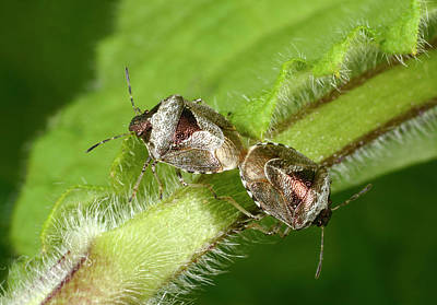 Bronze Shieldbugs Mating Print by Nigel Downer