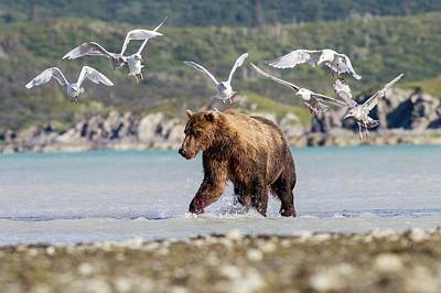 Flying Seagull Photograph - Brown Bear And Seagulls by John Devries