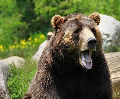 Kodiak Photograph - Brown Bear Awakening by Dan Sproul