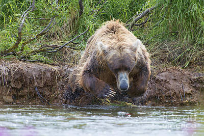 Brown Bear Diving Into The Water After The Salmon Print by Dan Friend