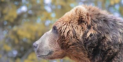 Brown Bear Portrait In Autumn Print by Dan Sproul