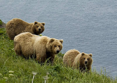 Grizzly Photograph - Brown Bear Sow And Cubs Eating Sedge by Cathy Hart