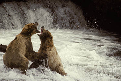 Us Fauna Photograph - Brown Bears Fighting by Ron Sanford