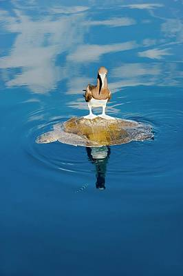 Boobies Photograph - Brown Booby And Marine Turtle by Christopher Swann