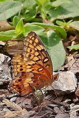 Butterfly Photograph - Brown Butterfly by Kim Bemis