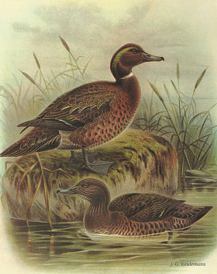 Waterfowl Painting - Brown Duck And Auckland Island Flightless Duck by J G Keulemans