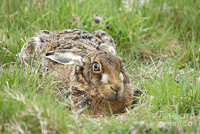 March Hare Photograph - Brown Hare by Philip Pound