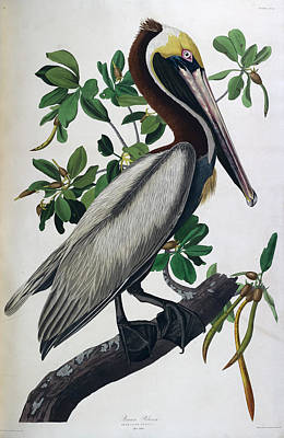 The Bird Photograph - Brown Pelican by British Library