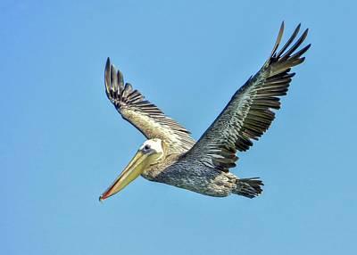 Brown Pelican Flight Print by Kristal Talbot