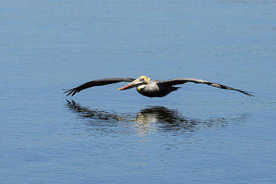 Brown Pelican Gliding Over Open Water Print by Steve Samples