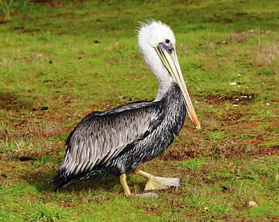 Brown Pelican, Newport, Oregon, Usa Print by Michel Hersen