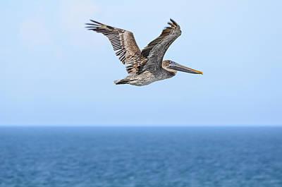 Brown Pelican Over Water Print by Steve Samples