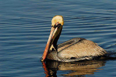 Brown Pelican Print by Stefan Carpenter