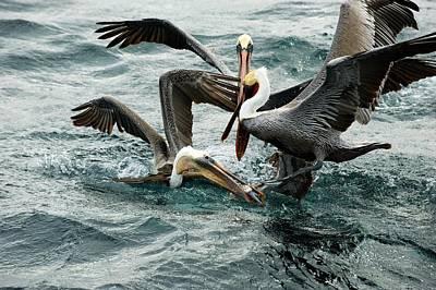 Brown Pelicans Stealing Food Print by Christopher Swann