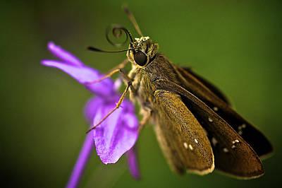 Brown Skipper Moth Print by Arj Munoz
