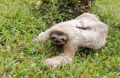 Brown-throated Three-toed Sloth Print by M. Watson