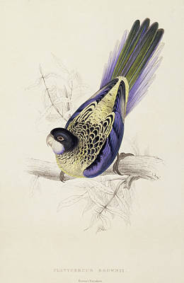 Browns Parakeet Print by Edward Lear