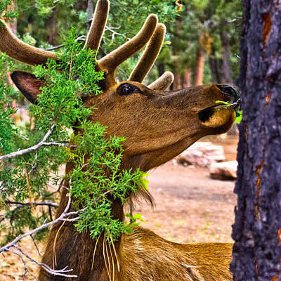 Browsing Red Deer In The Grand Canyon Print by Bob and Nadine Johnston
