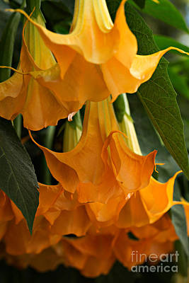 Angels Trumpet Photograph - Brugmansia Charles Grimaldi by Louise Heusinkveld