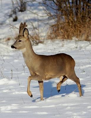 Photograph - Buck Roe Deer  by Dragomir Felix-bogdan