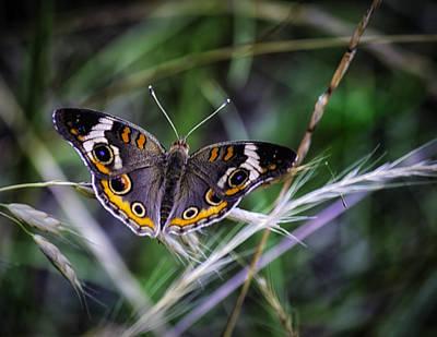 Butterfly Photograph - Buckeye Beauty by Barry Jones
