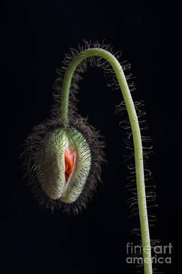Fuzzy Photograph - Budding Poppy Flower by Elena Elisseeva