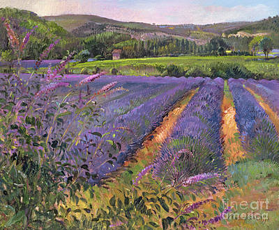 Buddleia And Lavender Field Montclus Print by Timothy Easton